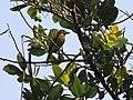 Brown Headed Barbet at Murud.jpg