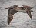 Brown Pelican, juvenile (33086408243).jpg