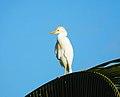 Bubulcus ibis (Cattle egrets).jpg
