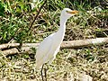 Bubulcus ibis (Héron).jpg