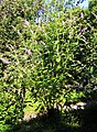 Buddleja davidii Prague 2013 1.jpg