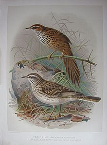 Buller Fernbird and Pipit.jpg