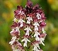 Burnt-tip Orchid Neotinea ustulata (44191008224).jpg