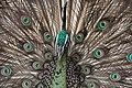Burung Merak ( Peacock Bird ) from Indonesia.jpg