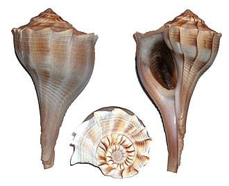 Shell gorget - Views of a Sinistrofulgur perversum shell