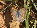 Butterflies from JP Nagar forest Bangalore (3).jpg