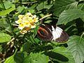 Butterfly Gaining juice form flower to spread it.jpg