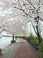 CBNU cherry blossoms.jpg
