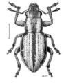 COLE Curculionidae Atrichonotus taeniatulus.png
