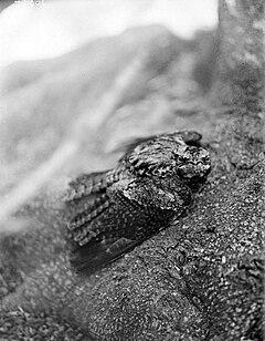 240px collectie tropenmuseum caprimulgus jotaka temm. in afweerhouding tmnr 10006566