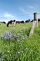 CSIRO ScienceImage 3254 Dairy cattle.jpg
