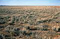 CSIRO ScienceImage 4024 Mitchell Grass near Alice Springs in Central Australia NT 1978.jpg