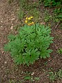 Cacaliopsis nardosmia 15340.JPG