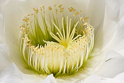 Close-up of an Echinopsis spachiana flower, showing both carpels (only the styles and stigmas are visible) and stamens, making it a complete flower.