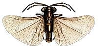 Caenocholax fenyesi.jpg