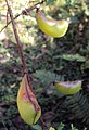 Caesalpinia mimosoides 04.JPG
