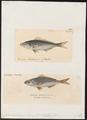 Caesio coerulaureus - - Print - Iconographia Zoologica - Special Collections University of Amsterdam - UBA01 IZ13000295.tif