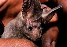 California leaf-nosed bat.jpg