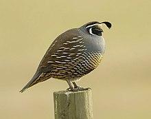 220px-California_quail.jpg