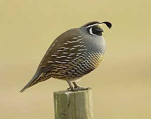 California quail - Adult male California quail in Point Reyes, CA