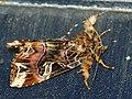 Callopistria juventina - The Latin - Мохноногая совка красноватая (40348175584).jpg