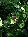 Calycanthus occidentalis - Flickr - peganum (6).jpg