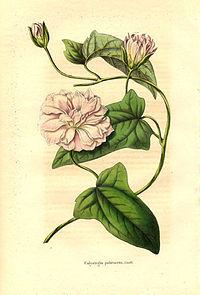 Calystegia pubescens