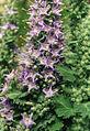 Campanula elatinoides 3.jpg