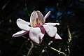 Campbell's Magnolia (33761581886).jpg