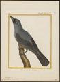 Campephaga striata - 1700-1880 - Print - Iconographia Zoologica - Special Collections University of Amsterdam - UBA01 IZ16500377.tif
