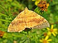 Camptogramma bilineata (Geometridae) (Yellow Shell) - (imago), Elst (Gld), the Netherlands.jpg