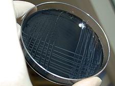 Kolonie Campylobacter jejuni