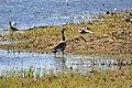 Canada Goose lake Hornborga.jpg