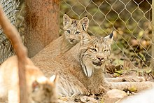 A Canada lynx kitten and its mother resting on the ground