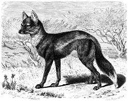 Chacal à flancs rayés (Canis adustus)
