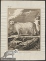 Canis lagopus - 1700-1880 - Print - Iconographia Zoologica - Special Collections University of Amsterdam - UBA01 IZ22200291.tif