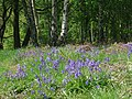 Canklow Wood - bluebells - geograph.org.uk - 799169.jpg