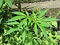 Cannabis sativa on way from Gangria to Govindghat at Valley of Flowers National Park - during LGFC - VOF 2019 (3).jpg