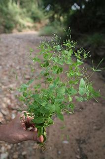 <i>Canscora diffusa</i> species of plant