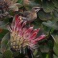 Cape sugarbird on Protea at Kirstenbosch (38152920442).jpg
