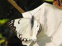 Caper White, Agra.jpg
