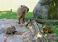 Capybara 3, Zoo Prague.jpg