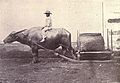 Carabao with sled, 1899.jpg