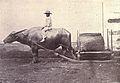 Carabao with sled, 1899.jpg