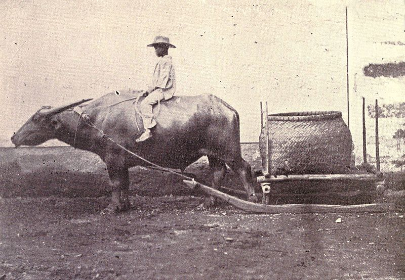 File:Carabao with sled, 1899.jpg