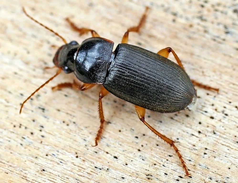 Carabidae File carabid...
