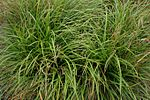 Carex-strigosa-habitus.jpg