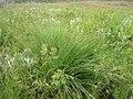 Carex aboriginum plant-5-26-04 in SW Idaho.jpg