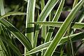 Carex morrowii 'Ice Dance' leafs.jpg