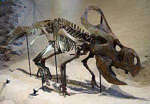 Protoceratops - Mounted P. andrewsi skeleton, Carnegie Museum of Natural History